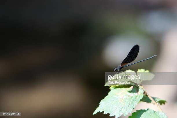 copper demoiselle - iñaki respaldiza stock pictures, royalty-free photos & images