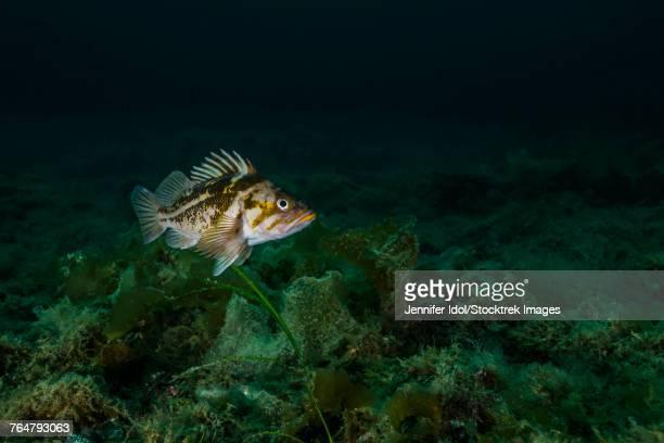 Copper rockfish in Prince William Sound, Alaska.