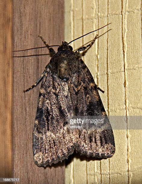 copper underwing (amphipyra pyramidea) - zeesstof stock pictures, royalty-free photos & images