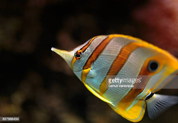 Copperband Butterfly fish, close-up