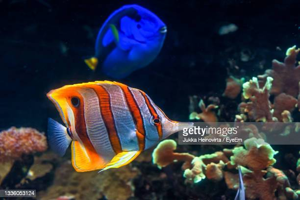 copperband butterflyfish swim by the corals with a regal tang in the background. - heinovirta stock pictures, royalty-free photos & images
