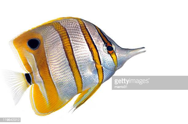 Copperbanded Butterfly fish  (Chelmon Rostratus)