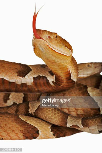 copperhead (agkistrodon contortrix), close-up - copperhead snake stock pictures, royalty-free photos & images