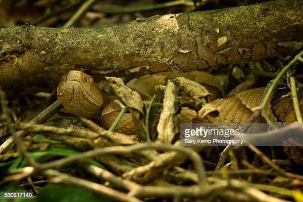 copperhead - copperhead snake stock pictures, royalty-free photos & images