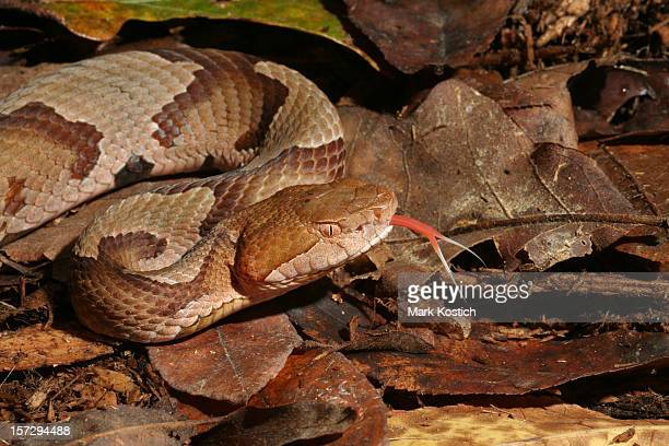 copperhead snake flicking tongue - copperhead snake stock pictures, royalty-free photos & images