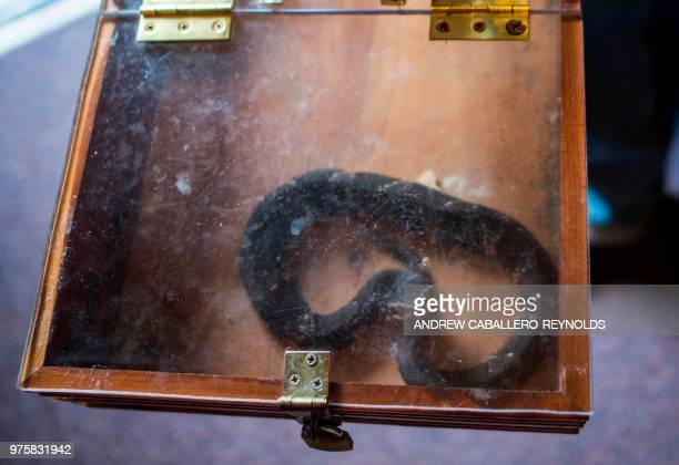 A copperhead snake looks out of a box before a Pentecostal serpent handlers service at the House of the Lord Jesus church in Squire West Virginia on...