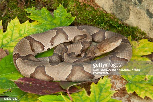 copperhead snake on leaves rest - copperhead snake stock pictures, royalty-free photos & images
