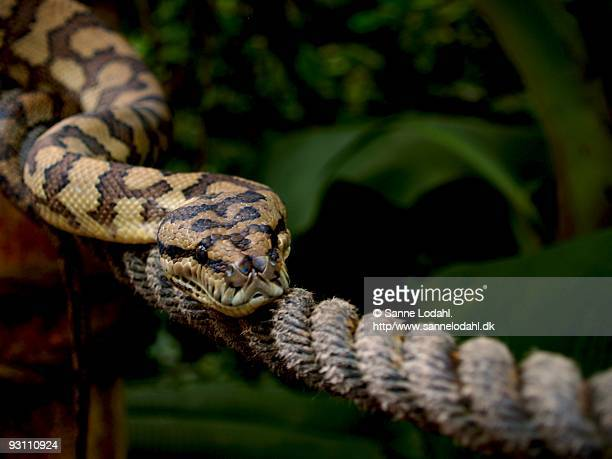 copperhead snake - copperhead snake stock pictures, royalty-free photos & images