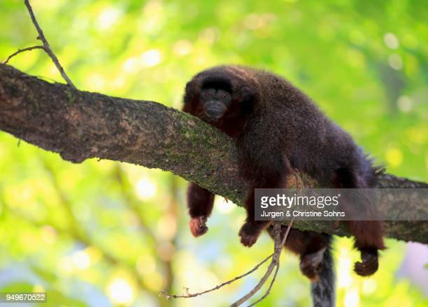 Coppery titi (Plecturocebus cupreus), adult, lying on branch, resting, animal portrait, captive