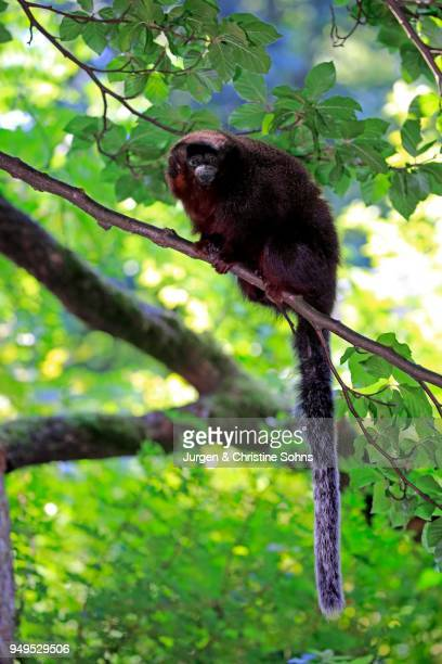 Coppery titi (Plecturocebus cupreus), adult, sits on tree, captive