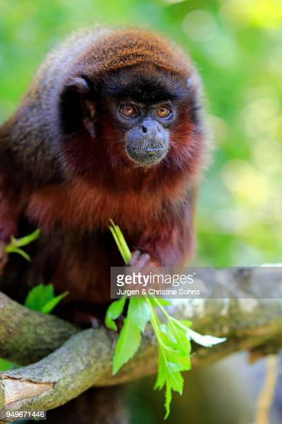 Coppery titi (Plecturocebus cupreus), adult, sits on tree, eating, animal portrait, captive