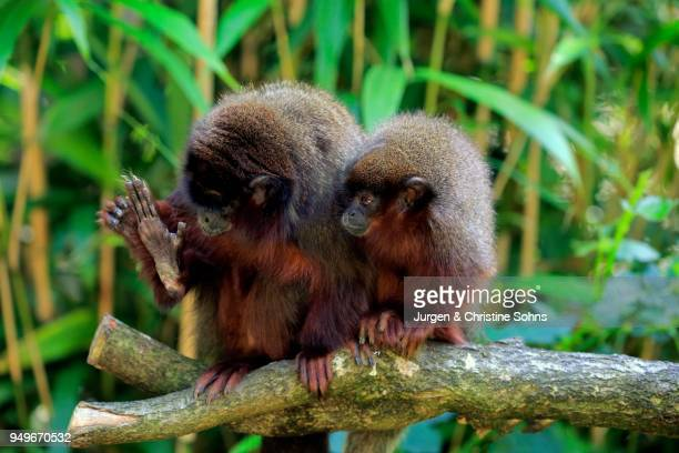 Coppery titi (Plecturocebus cupreus), adult with kitten sitting on branch, personal hygiene, captive