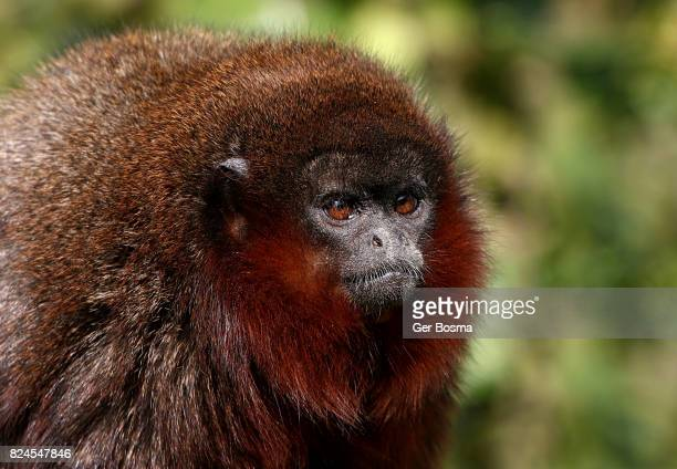 Coppery Titi Monkey Portrait