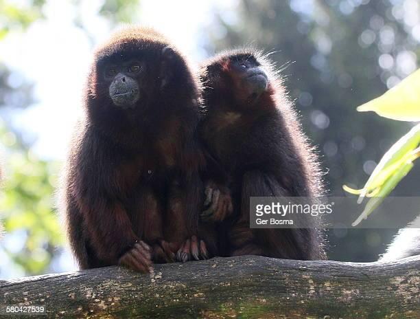 Coppery titi monkeys