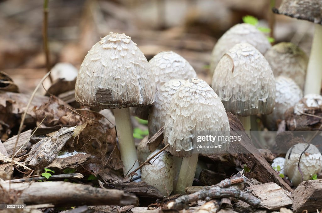 Coprinus comatus champignons : Photo