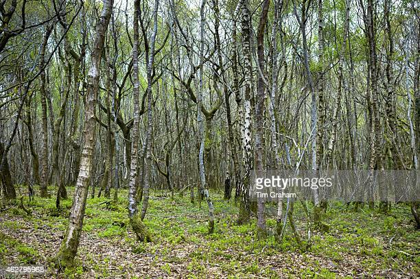 Copse of silver birch trees Betula pendula silver birches as Spring turns to Summer in Exmoor Somerset UK