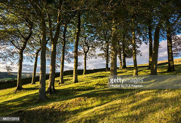 Copse of trees near Hayfield, Derbyshire, England