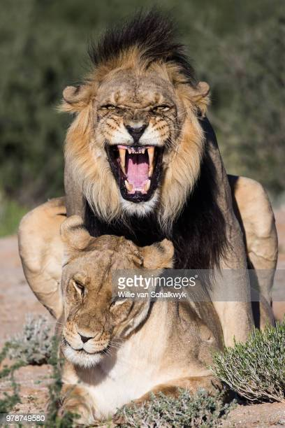 copulating lions (panthera leo), kgalagadi south, botswana - lion feline stock pictures, royalty-free photos & images