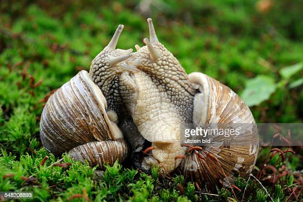 copulation of grapevine snails