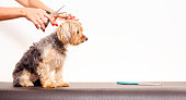Copy space adorable Yorkshire terrier being groomed