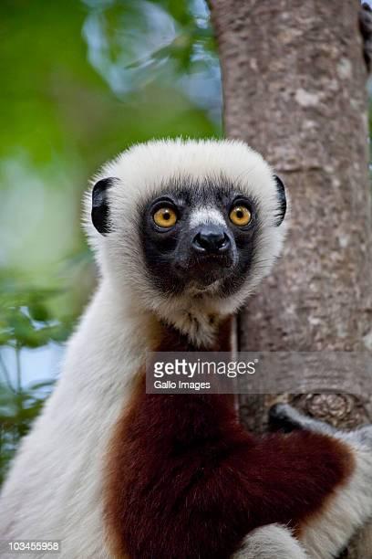 Coquerels Sifaka (Propithecus coquereli), Ampijoroa, Ankarafantsika Reserve, Madagascar