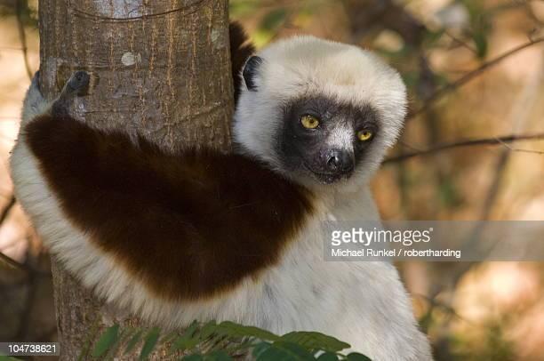 Coquerel's Sifaka (Propithecus coquereli), Ankarafantsika National Park, Madagascar, Africa