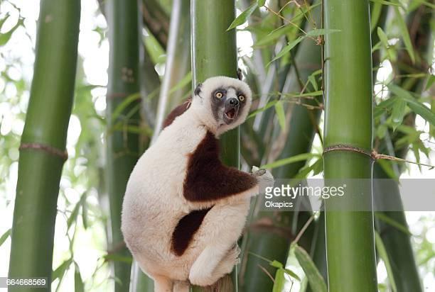 Coquerels sifaka (propithecus coquereli) climbing bamboo plant, Antananarivo, Madagascar