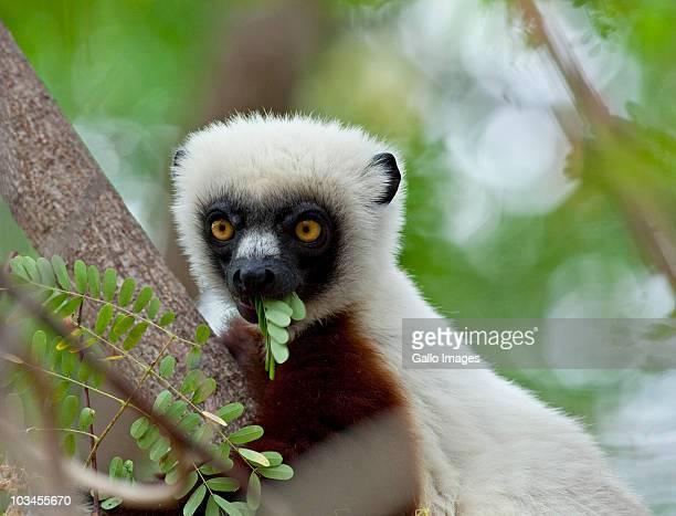 Coquerels Sifaka (Propithecus coquereli) eating leaves, Ampijoroa, Ankarafantsika Reserve, Madagascar