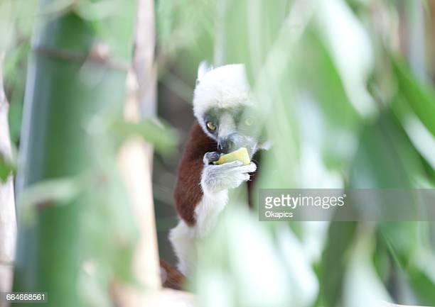 Coquerels sifaka (propithecus coquereli) in bamboo plants eating, Antananarivo, Madagascar