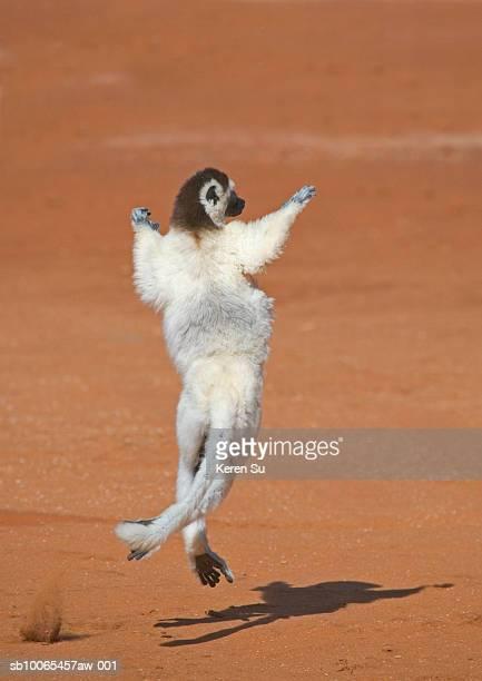 Coquerel's Sifaka (Propithecus coquereli) jumping, rear view