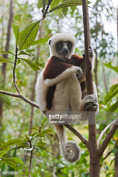 Coquerel's Sifaka or Crowned Sifaka -Propithecus coquereli-, male, sitting on a branch in a forest, with a curled tail, Exotic Park, Peyriar, near Andasibe, Madagascar