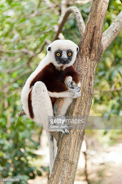 Coquerel's Sifaka or Crowned Sifaka -Propithecus coquereli-, male, sitting on a branch in a forest, Exotic Park, Peyriar, near Andasibe, Madagascar