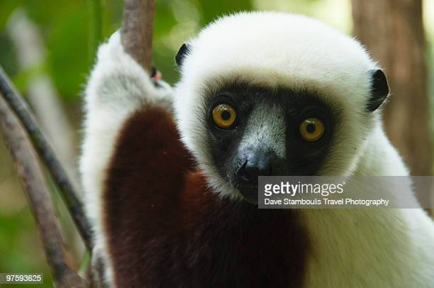 coquerel's sifaka  - lemur stock photos and pictures
