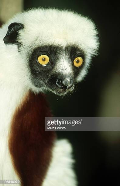 Coquerels Sifaka, Propithicus verreauxi coquereli, Ampijorou, Madagascar