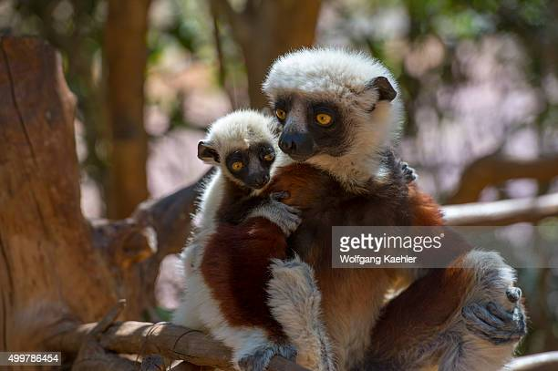 Coquerel's Sifaka with baby at Lemur Park near Antananarivo Madagascar