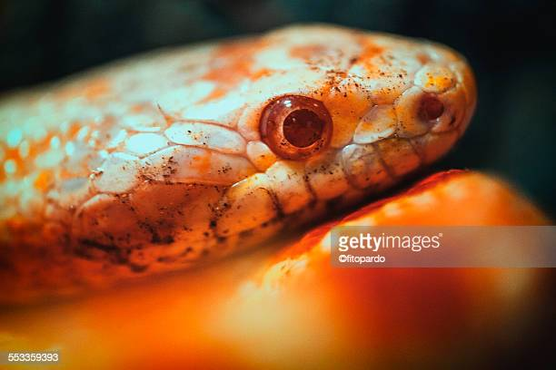 coral albino boa snake, macro - coral snake stock pictures, royalty-free photos & images