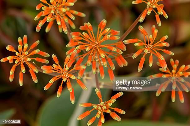 coral aloe (aloe striata) flowers - timothy hearsum stock-fotos und bilder