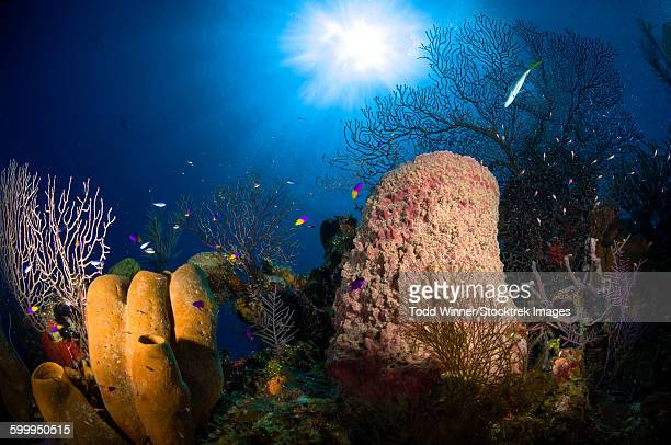 Coral and sponge reef, Belize.