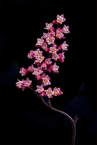 Coral Bells (Heuchera) - gettyimageskorea