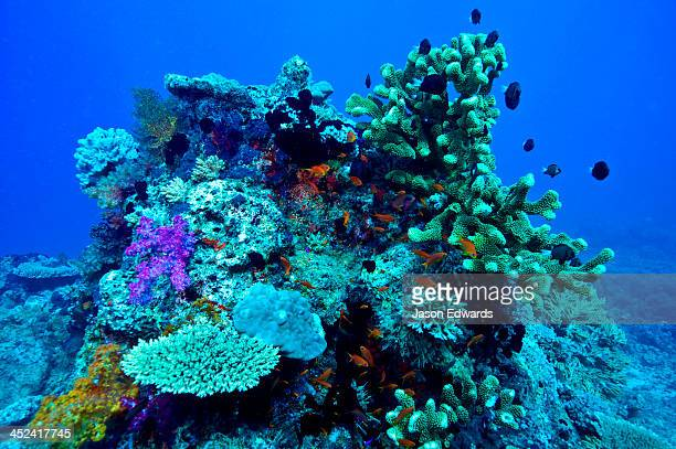 A coral bommie encrusted with plate and staghorn corals and reef fish.