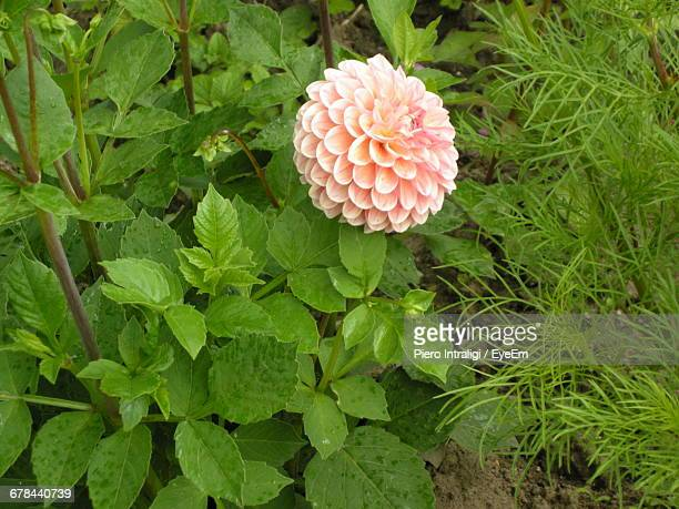 Coral Dahlia Growing At Park