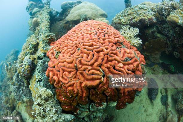 Coral Fluorescence of Brain Coral in Day Light Micronesia Palau