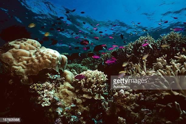Coral garden and fishes, Threadfin anthias, Purple anthias, Golden damselfish. Great Barrier Reef, Queensland, Australia.