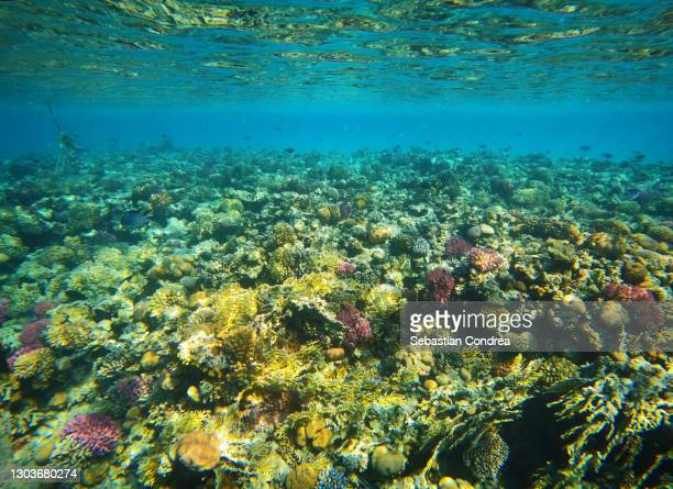 coral garden with lot of tropical fish on red sea, egypt. - スクーバダイビングの視点 ストックフォトと画像
