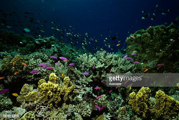 Coral garden with Yellowstriped fairy basslets and Damselfish Great Barrier Reef Queensland Australia