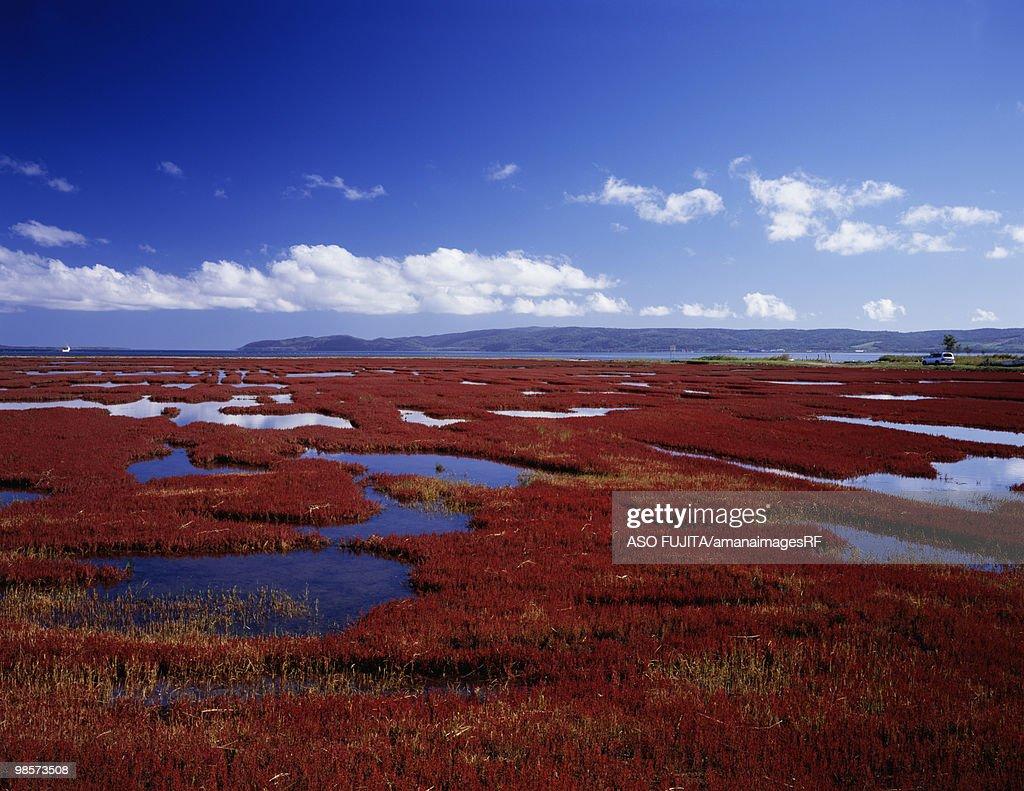 Coral grass in marsh, Abarishi, Hokkaido, Japan : Stock Photo