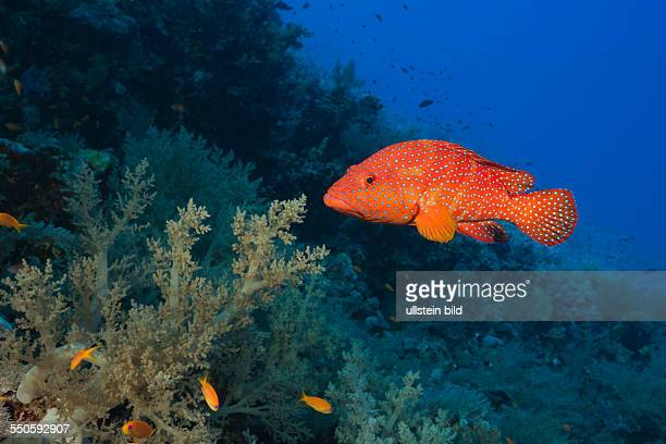 Coral Grouper Cephalopholis miniata St Johns Red Sea Egypt