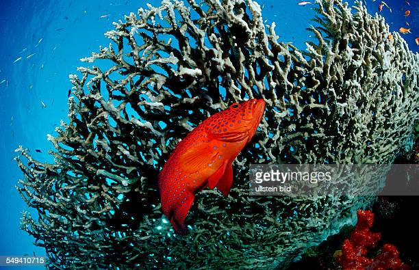 Coral grouper Cephalopholis miniata Thailand Indian Ocean Phuket Similan Islands Andaman Sea