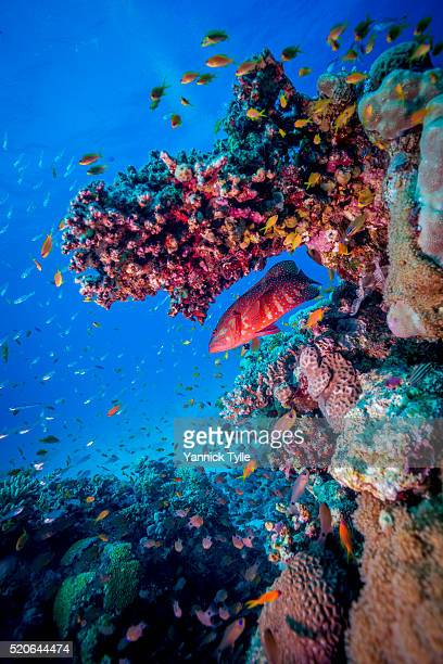 coral grouper in the red sea - reef stock pictures, royalty-free photos & images