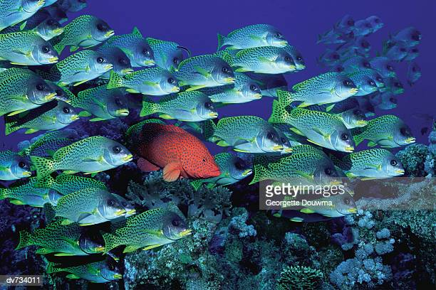 A Coral Grouper Swimming Among School of Black Spotted Sweetlips
